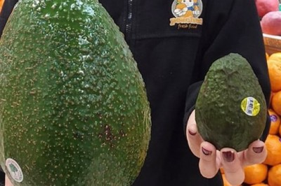 'As big as your head': giant avocado arrives in Australia